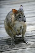 picture of red-necked  - this is a close up of a red necked pademelon - JPG