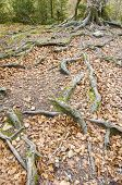 stock photo of centenarian  - tree with big roots in Ordesa National Park - JPG