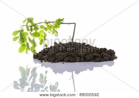 Broken Seedling Growing In A Soil With Reflection , Isolated On White Background