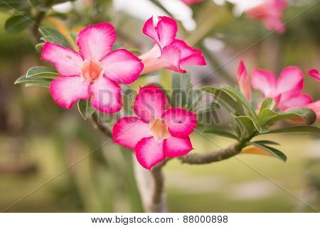 beautiful Desert rose, Impala Lily