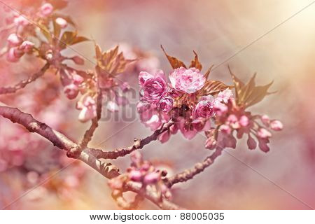 Cherry branch blossom