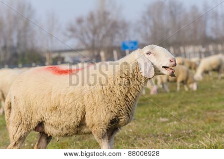 Portrait Of Sheep