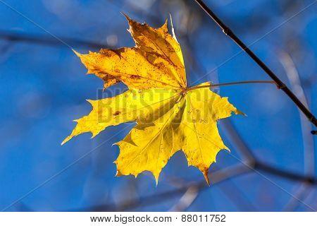 Autumn Single Yellow Maple Leaf