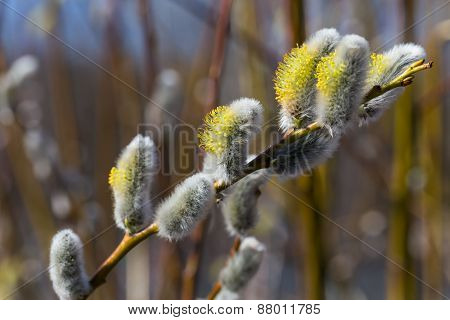 Fluffy Soft Willow Buds