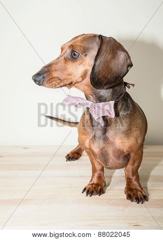 Red Dachshund Dog With Sun Glasses Or Bow Tie Scarves