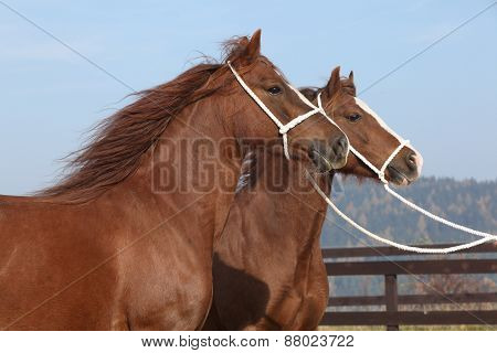 Two Chestnut Mares With Halters