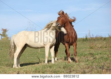 Two Young Stallions Playing Together