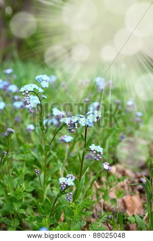 Forget-me-not In A Meadow