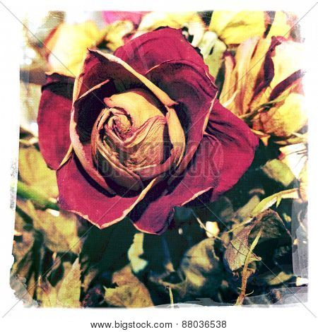 Instagram filtered image of a dried Valentine's Day red rose