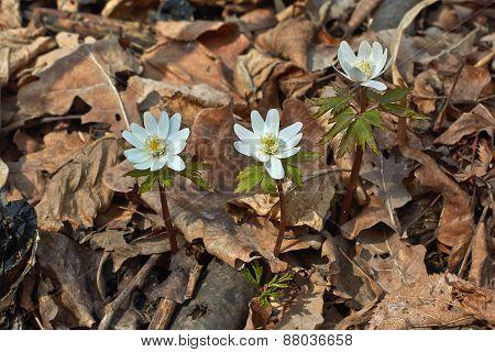 Anemone Nemorosa  In Spring Forest.
