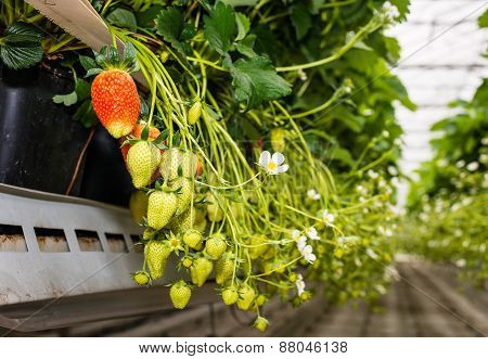 Red And Green Strawberries In A Modern Greenhouse From Close