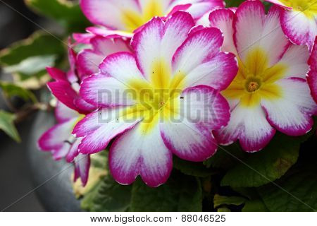 Pink,white And Yellow Primula