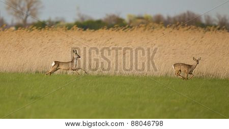 Roe Buck Couple On Grassland