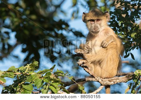 Young Yellow Baboon (papio Cynocephalus) Sitting In A Zen-like Position