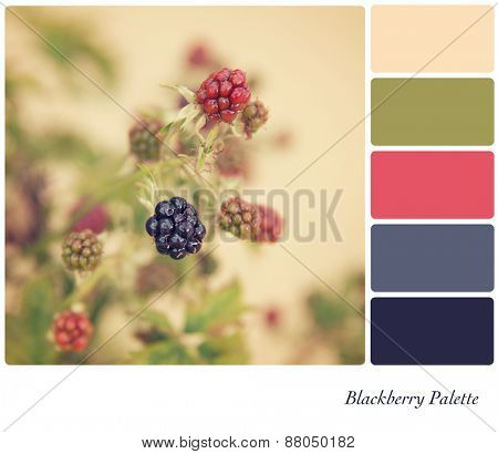 Blackberries growing in the hedgerow, processed to look like an aged instant photo, in a colour palette with complimentary colour swatches.