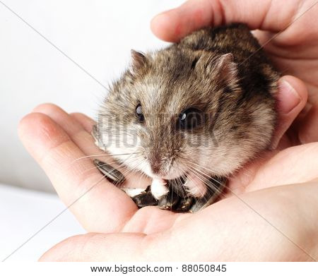 Djungarian hamster in the hands
