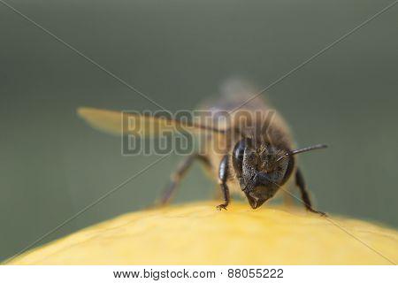 Macro On Bee Head