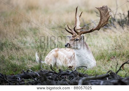 Male Fallow Deer In The Wild Forest