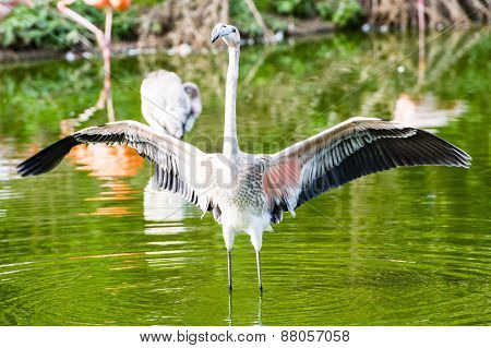 Pinkish-white Greater Flamingo Bird