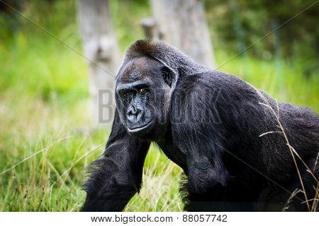 Handsome Gorilla About To Smile