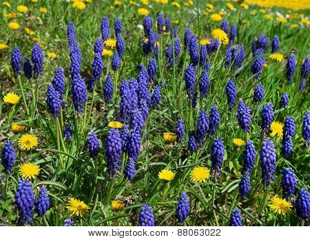 Blue Muscari botryoides with yellow dandelion