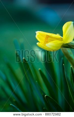 Yellow Daffodil Close-up