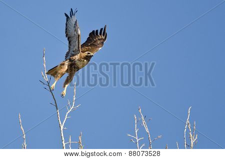 Red-tailed Hawk Taking Off From The Tree Tops