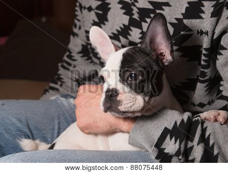 Puppy French Bulldog In The Lap Of A Person