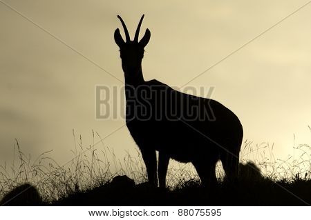 Rupicapra rupicapra, wild chamois in backlight, Jura, France