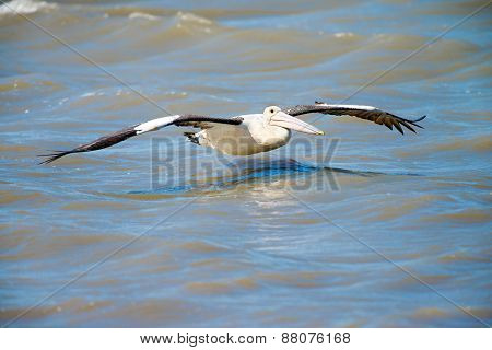 Australian Pelican in Flight, Cairns, Queensland