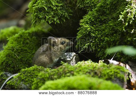 wood mouse in mosses, Vosges, France