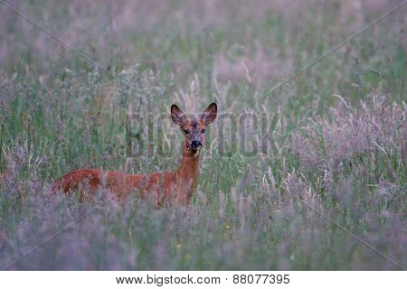 roe hiding in the grass, Jura, France