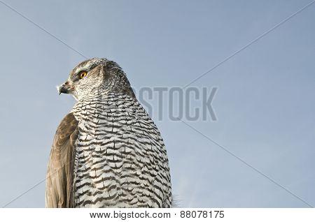 Peregrine falcon hawk