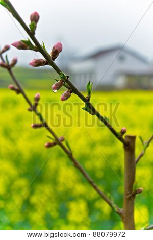 Dewy peach blossom closeup