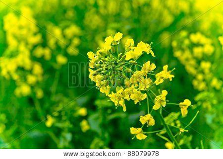 In the field of rape in full bloom feature