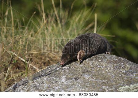 European mole on a rock, Bussang, Vosges, France