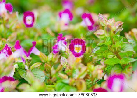 Torenia,Wishbone flower