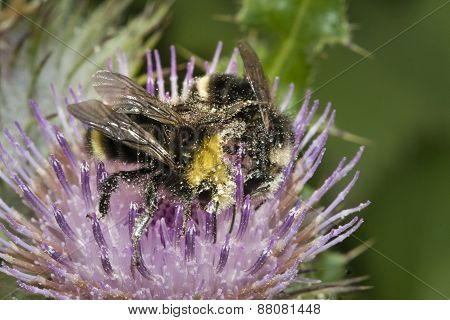 Honey bees collecting pollen