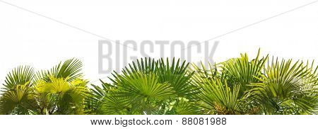 green palm foliage stripe isolated on white background