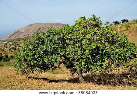 Cashew Tree At High Altitude