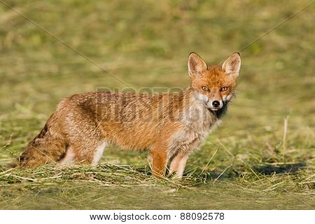red fox standing in a field, Jura, France