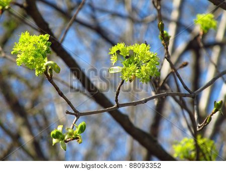 blooms of maple tree