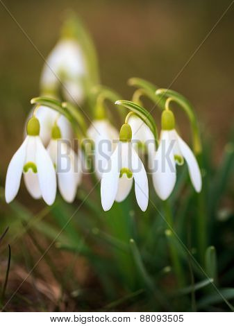 Macro Close-up of snowdrops with selective focus