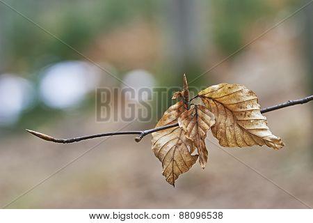 Beech Twig