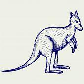 foto of kangaroo  - Kangaroo - JPG