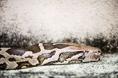 stock photo of jungle snake  - Python Reticulatus is among the longest snake species and extant reptiles in the world - JPG