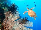 stock photo of hawksbill turtle  - Turtle swimming underwater among the gorgonian coral - JPG