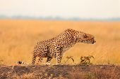 image of cheetah  - Male cheetah sitting in grass and looking for its pray in Masai Mara Kenya - JPG