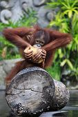 picture of orangutan  - Young orangutan with a nut of a coco - JPG