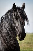 stock photo of beautiful horses  - Portrait beauty black friesian horse - JPG